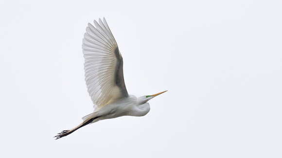 Great Egrets-I-4417