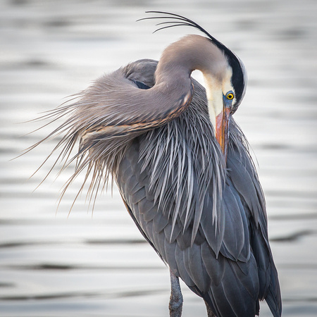 Great Blue Heron Portraits-13