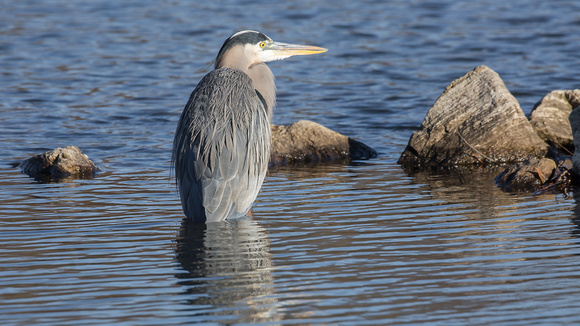 Great Blue Heron & Morning Light-10