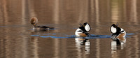 Hooded Mergansers Courtship Dance