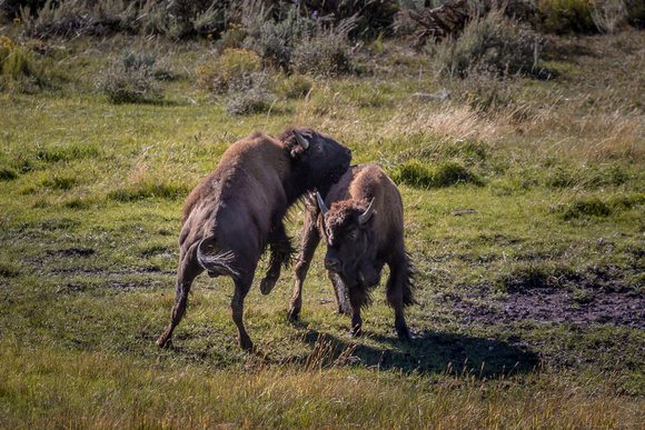 Animals, Yellowstone, Bison, Wyoming, wildlife